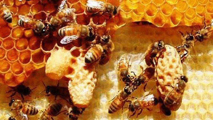 Arı Sütü ve Faydaları Hakkında
