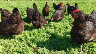 Ataks Tavuğunun Diğer Tavuklardan Avantajları Nelerdir?
