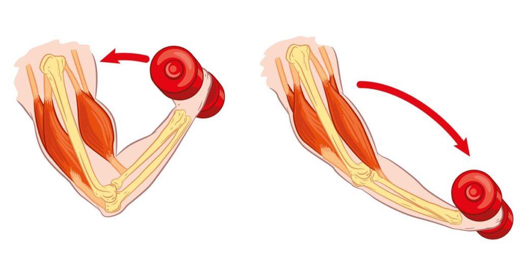 muscle contractions 1024x538 - Eksantrik Kas Kasılması Nedir? Bilgi ve Haber
