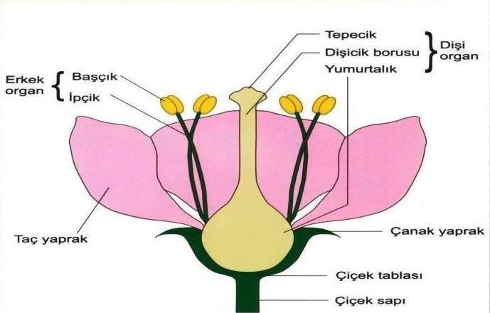 Çiçeğin Kısımları ve Görevleri